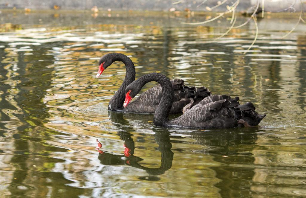Черные лебеди в Московском зоопарке