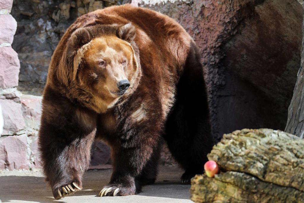 Медведь в Московском зоопарке
