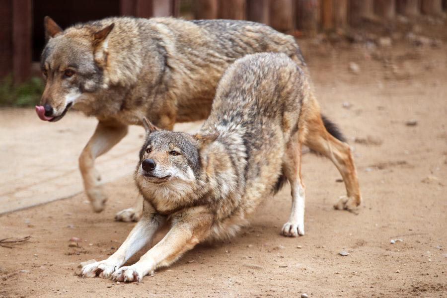 Волки в Московском зоопарке