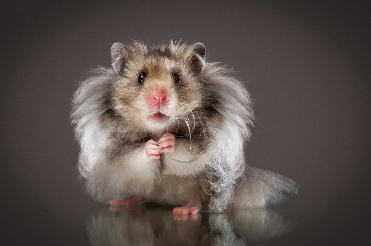 Ветеринары Москвы — рекомендации по уходу за хомяками