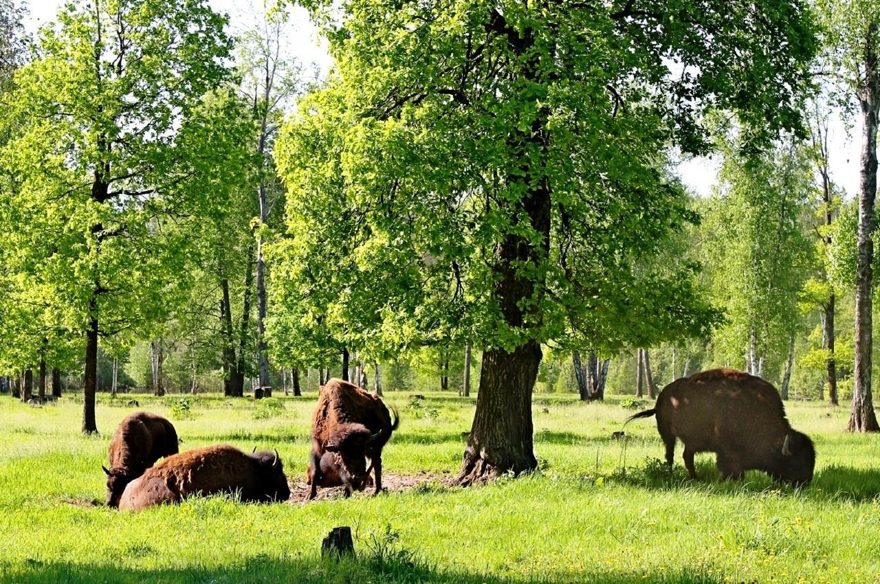 Зубры - Приокско-Террасный заповедник