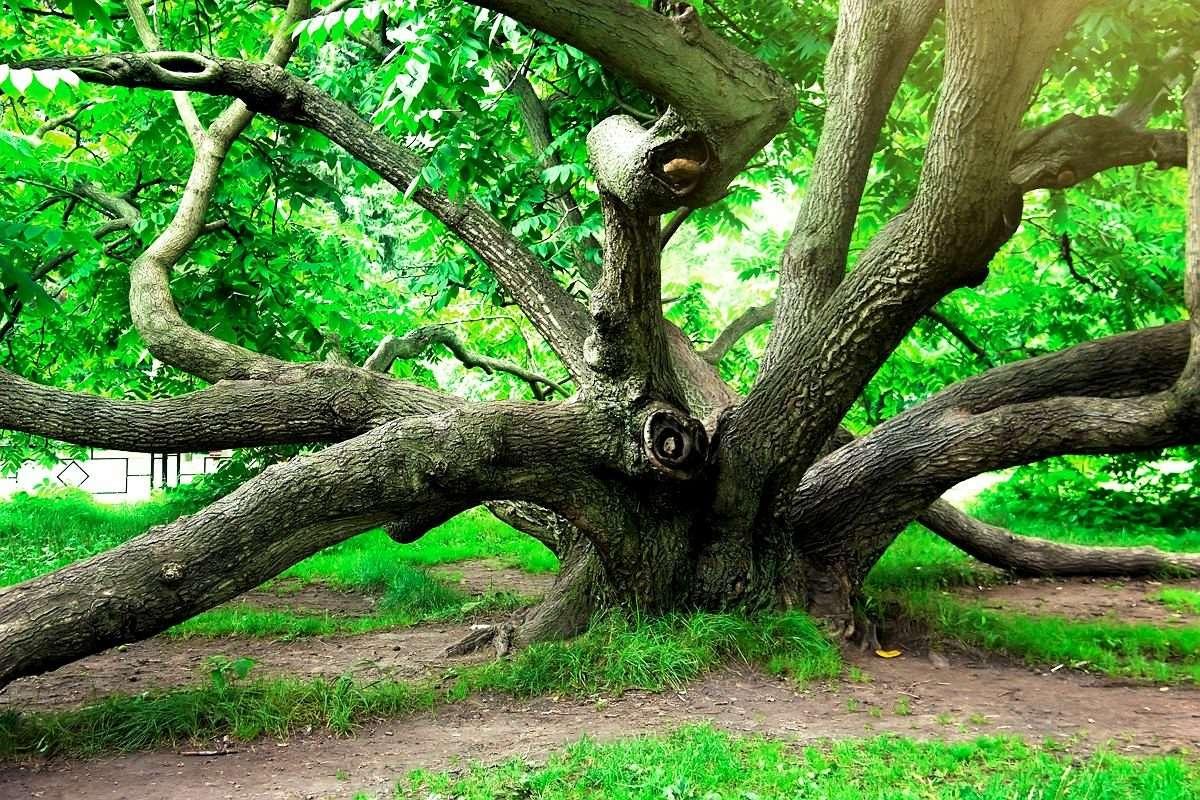 Многоствольный маньчжурский орех Ботанического сада в Москве