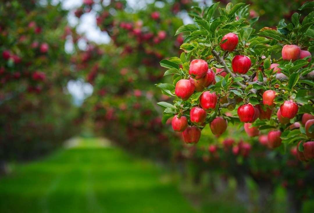 Плодовый сад Ботанического сада МГУ